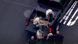 Mountain Lion on the Loose Captured in San Mateo | NBC Bay Area